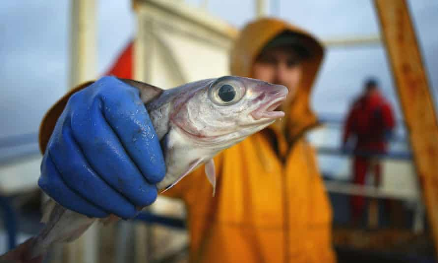 Scottish trawlermen with a catch of haddock 100km off north coast of Scotland.