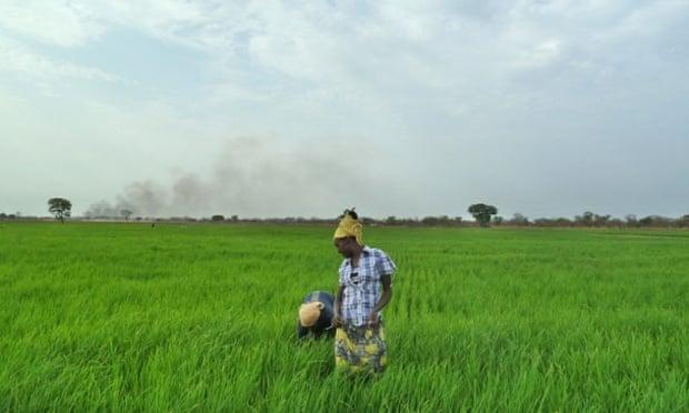 Rice paddy Gambella, Ethiopia