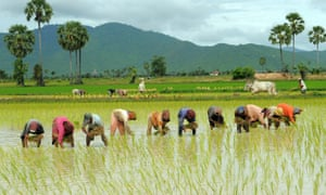Cambodian farmers grow rice in a field in Kampong Speu province, some 60 kilometers south of Phnom Penh.