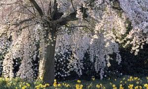 A Prunus subhirtella rosea Cherry in bloom