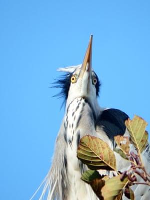 Heron, Huddersfield narrow canal West Yorks Di Carey