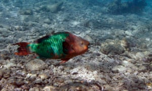 parrot fish florida coral reef