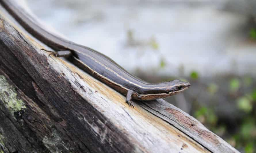 A moko skink, the first of several reptiles to be introduced on the island. Unlike most lizards, this species does not lay eggs but gives birth to live young.