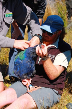 Auckland Zoo bird keeper Chris Steele holds a takahe while a Department of Conservation (DOC) ranger fits a transmitter to the bird which will be introduced to Rotoroa next month.