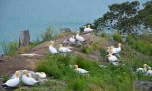 Conservationists are using decoy gannets to help rebuild the seabird colony on Rotoroa. A live gannet rests third from the left.