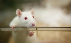 Most animal experiments carried out in the UK involve mice and rats.