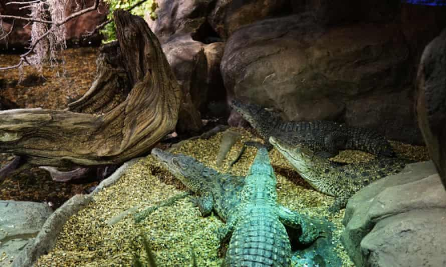 Baby crocodiles in Stockholm