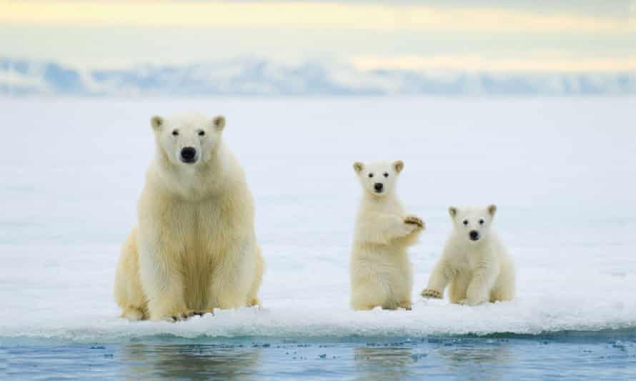 A polar bear mother and twin cubs of the year hunting on the pack ice in the Svalbard Archipelago, Arctic. Polar bears are threatened as a species by climate change.