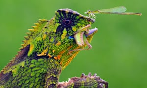 Green and purple lizard eating a grub