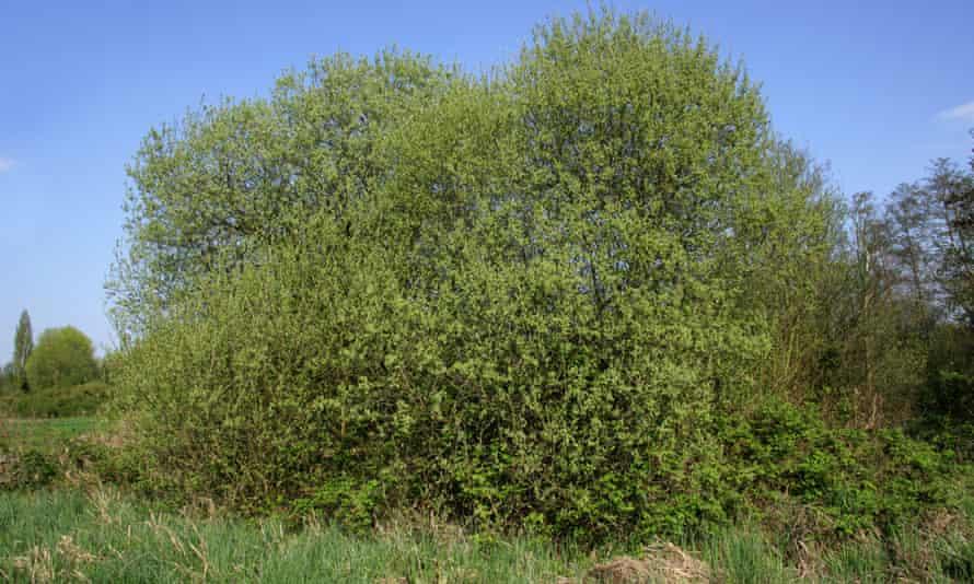 Goat willow (Salix caprea)