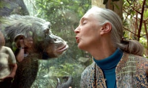 Jane Goodall, the world's foremost authority on chimpanzees, communicates with Nana at the zoo in Magdeburg, Germany.