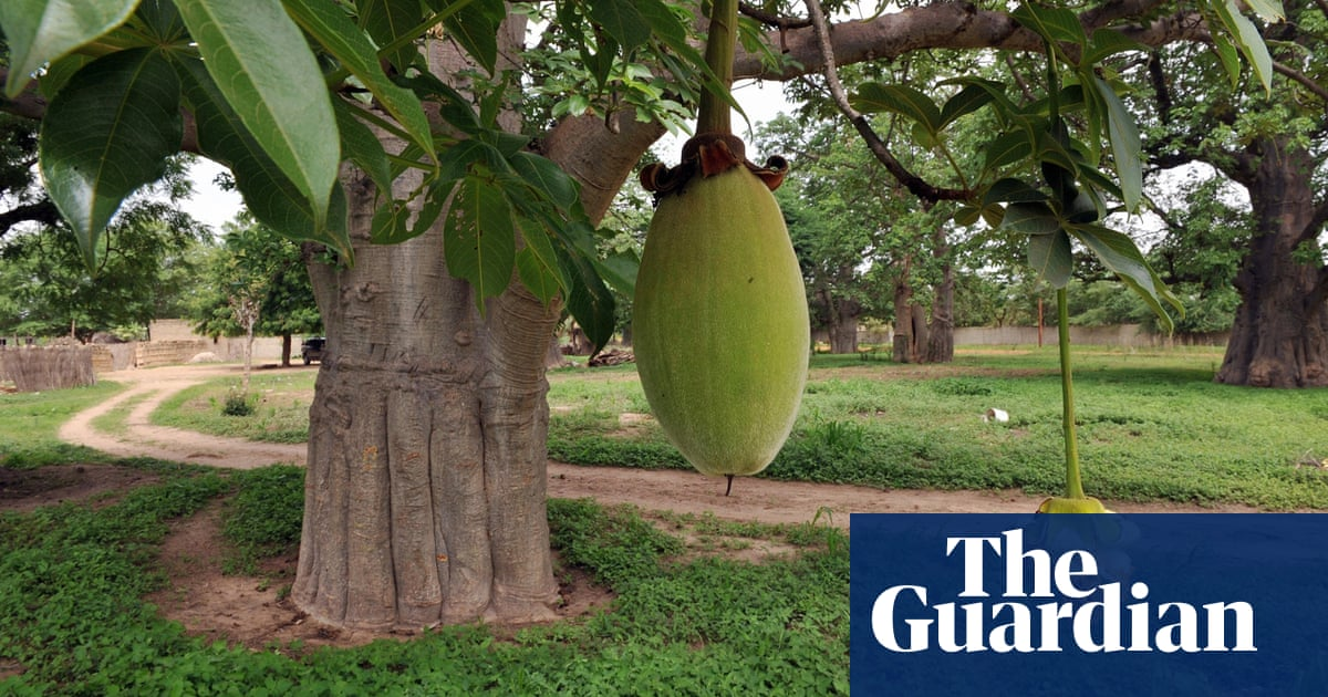 Aduna creates a market for baobab fruit | Guardian Sustainable