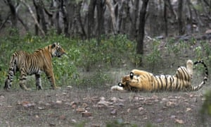 This April 12, 2015 photo shows tigers at the Ranthambore National Park in Sawai Madhopur, India. India s tiger population has gone up 30 percent in just four years. The government lauded the news as astonishing evidence of victory in conservation. But independent scientists say such an increase - to 2,226 big cats - in so short a time doesn t make sense.
