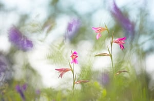 GDT Nature Photographer of the year 2015 overall winner: Klaus Tamm - Marsh gladiolus. Tuscany, Italy.