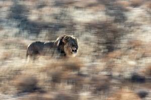Mammals category winner: Jan van der Greef - King of Kalahari. Lion with typical dark mane in the Kalahari claiming his territory.