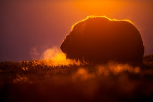 Mammals category 2nd place: Florian Smit - Great Emotions. Musk ox, Dovrefjell, Norway.