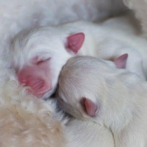 My little Bichon x Westie pups have a cuddle