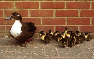 Fresh on the scene A wary mother shepherds her flock of brand-new ducklings past the village shop in Ickleford, Herts