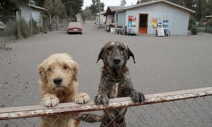 Two dogs in ash-covered Ensenada, Chile.