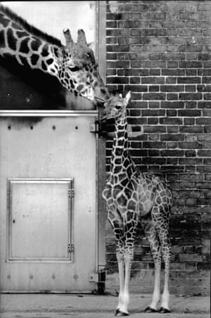 1983 Such was Steve Davis' level of fame, this baby giraffe born at London Zoo was named Steve after the snooker superstar