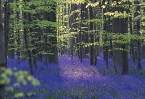 """Wild Bluebells form a carpet in the Hallerbos, also known as """"The Blue Forest"""" near the Belgian city of Halle April 20, 2015. The forest is known for its flowers which bloom around mid-April turning the forest completely blue.  REUTERS/Yves Herman:rel:d:bm:GF10000066763   hig1animalgallery"""
