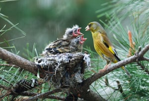 epa04714220 A goldfinch feeds its newly hatched chicks in their nest in Chungju, North Chungcheong Province, South Korea, 21 April 2014.