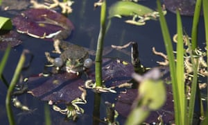 A photo taken on April 18, 2015 shows a frog and water lilies in the gardens of the home of French Impressionist artist Claude Monet in Giverny, north-western France.