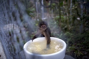 In this April 18, 2015 photo, a monkey dips its hand into a water receptacle at the Amazon Animal Orphanage in the Pilpintuwasi rainforest, near Iquitos, Peru. The monkey was among dozens of animals that Animal Defenders International, with the assistance of the Peru's air force and navy, airlifted Saturday to the animal refuge in Peru's amazon rainforest from Lima, where they were held after being rescued from animal traffickers and circus programs.