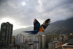 A macaw flies over buildings with the Avila mountain behind in Caracas March 31, 2015. Caracas, the world's second most violent city according to the United Nations, also suffers terrible traffic and residents spend hours in massive lines for scarce products. However, on antennae, rooves and windowsills, blue-and-yellow macaws (or Ara ararauna) break the harsh routine. Though originally native to rainforests from Panama to Paraguay, they have adapted well to Caracas thanks to the exuberant tropical vegetation surging between skyscrapers. Picture taken March 31, 2015.