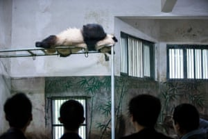 A panda sleeps on the jungle gym bars in a zoo on April 20, 2015 in Hangzhou, China.