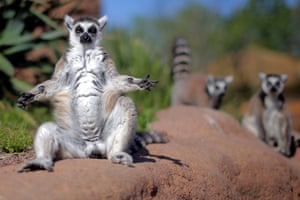 A ring-tailed lemur is pictured at Zoom Torino, a zoological park in Cumiana near Turin, on April 22, 2015. Zoom Torino is a new immersive zoological park, where animals can be seen without bars or cages, only natural barriers ensure the visit.