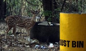 epa04716276 A deer eats food thrown away by visitors near a trash can at the Sanjay Gandhi National Park, in Mumbai, India, 22 April 2015.