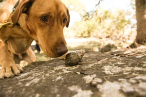 In this Oct. 25, 2014 photo, courtesy of Rebecca Ross, Darwin the Labrador retriever sniffs at a snail in while being trained in Texas. Darwin traveled in December from Texas to the the Galapagos island Santa Cruz. Darwin is one of two dogs selected to hunt the mollusk on the island, which is the largest species of snail found on land and can grow to 20 centimeters (7.8 inches) long.