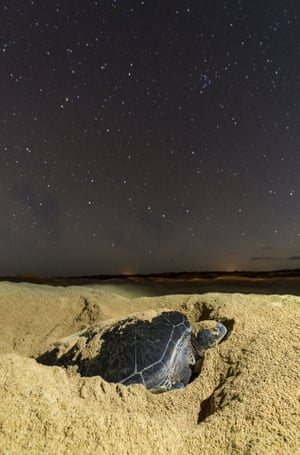 """Most sea turtles will lay their eggs under the protection of the night sky. The night is cooler and there are less predators around. Only the stars watch here as she drops her batch in the nest Green sea turtles lay eggs on the British Overseas Territory of Ascension Island, South Atlantic - Apr 2015 Wildlife photographer Roy Mangersnes explains: """"Every year between December and June thousands of turtles migrate from the coast of Brazil and by what seems as pure luck, they arrive on the small volcanic island in the middle of the Atlantic Ocean some 2000 km away.   """"I was lucky to spend three days on the island during an Mid-Atlantic ridge expedition, arriving home just a few days ago, and the turtles were busy digging their nests and lay their precious eggs."""""""