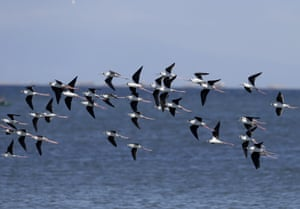 Black winged stilts fly around Freedom Island where environmental activists are conducting coastal clean-up to mark World Earth Day Wednesday, April 22, 2015 at suburban Las Pinas, south of Manila, Philippines. The Freedom Island, which is home to about 80 species of local and migratory birds, is the receptacle of wastes, mostly plastics, that were washed ashore especially during rainy season.