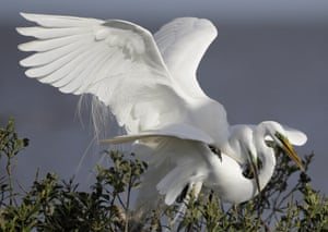 Two great egrets mate in their nest in the mangroves on an island in Cat Bay, in Plaquemines Parish, La., Sunday, April 19, 2015.