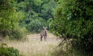 Photo taken on April 21, 2015 shows an antelope in the Gorongosa National Park, central Mozambique. The Gorongosa National Park is one of Mozambique's largest and well-known national park, with an area of over 4,000 square km of valley floor and parts of surrounding plateaus. The unique geographic features of Gorongosa at one time supported some of the densest wildlife populations in all of Africa, but large mammal numbers were reduced by as much as