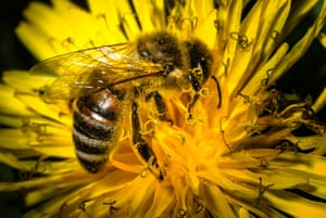 A bee collects pollen from a dandelion flower on April 19, 2015 near Wiesenthau, southern Germany.