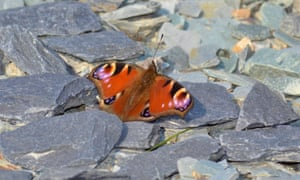 This peacock butterfly took a break in the sun and perched on these warm stones. This was one of the many butterflies that finally emerged with the sun on April 6th.