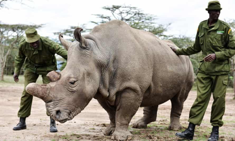 Najin, a female northern white rhino at Ol Pejeta Conservancy.