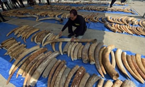 A Thai customs officer inspects confiscated elephant tusks during a press conference at the Customs Bureau in Bangkok on April 27, 2015.  Thai customs seized 511 pieces of ivory tusks, weighing some 3,100 kilograms and worth six million USD after it arrived from Kenya to Laos.