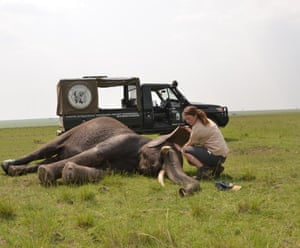 A young woman tends to an elephant as it lies down in the grassslands of Kenya