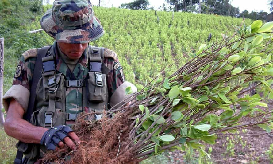 A Colombian soldier inspects a coca plant.