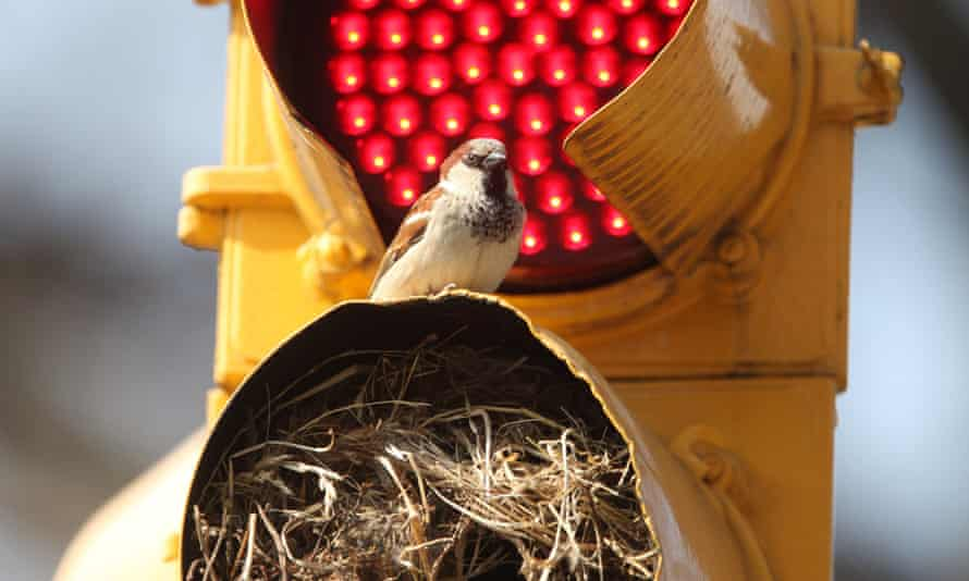 Sparrow nesting in a traffic light in New York. The species is one of many that migrate along the Atlantic Flyway.