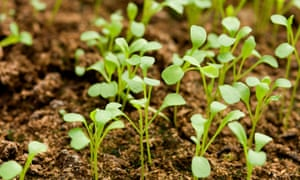 Signs of life: rocket seedlings compete for sun.