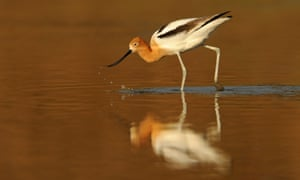 American avocet feeding at the water.