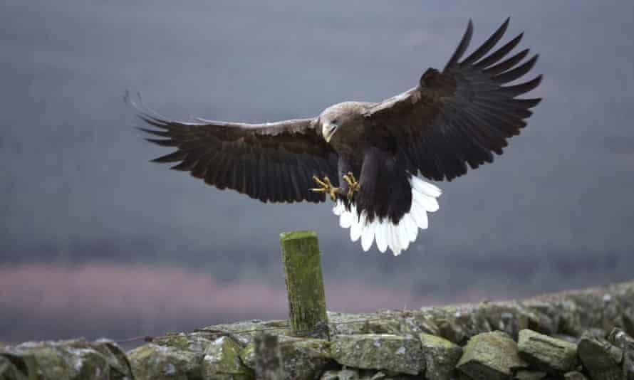 white-tailed sea eagle (Haliaeetus albicilla), landing on a post, United Kingdom, Scotland, Argyll, Mull
