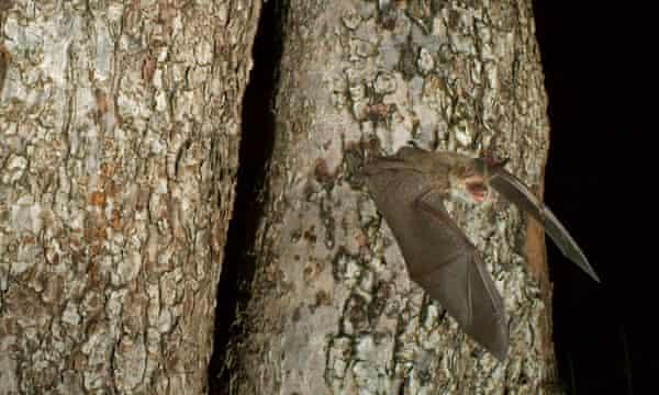 DGRGRD Bechstein's Bat (Myotis bechsteinii) flying out from their roost
