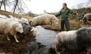 Writer and farmer James Rebanks, with his Herdwick sheep at Racy Ghyll Farm, Penruddock, Penrith, Cu