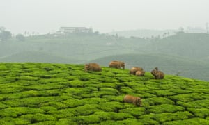 Elephants have to negotiate a vast expanse of tea to reach distant rainforest fragments.